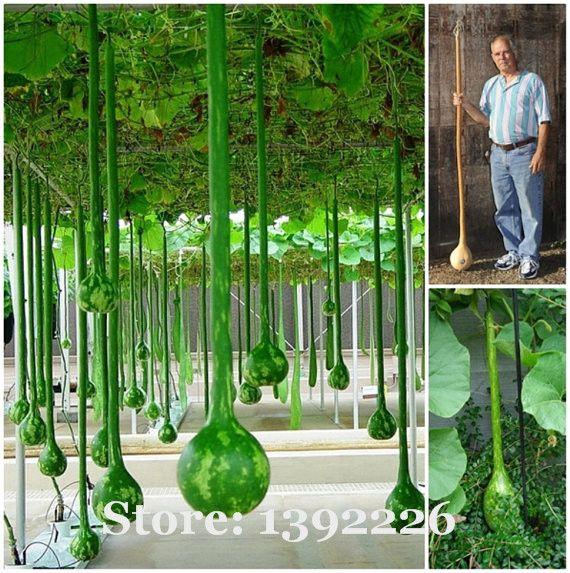 Бесплатная доставка длинные семена дыни, использовать в качестве контейнер, бутылки, или Музыкальные инструменты, семечки-10 шт./пакет