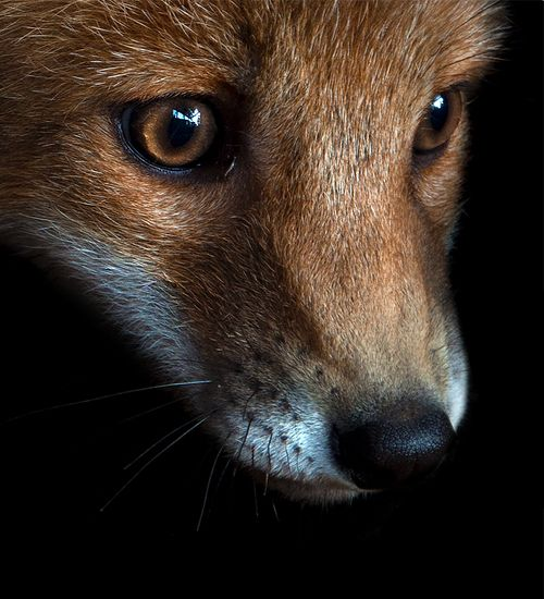 : Foxes Face, Red Fur, Animal Photography, Redfur By Skia, Beautiful, Creatures, Amazing Animal, Foxy, Red Foxes