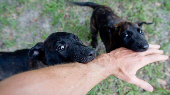 Dutch Shepherd Puppies for Sale