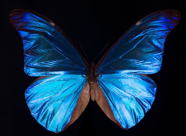 What does it mean to be blue? The wings of a Morpho butterfly are some of the most brilliant structures in nature, and yet they contain no blue pigment -- th...