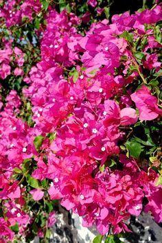 Fiche plante bougainvillier bougainvillier jardinage - Comment tailler un bougainvillier ...