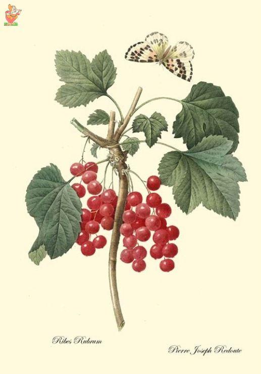 (24)  - Немного ботаники - красная смородина