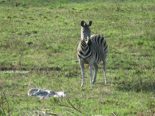 A zebra with her stillborn, iSimangaliso's Eastern Shores