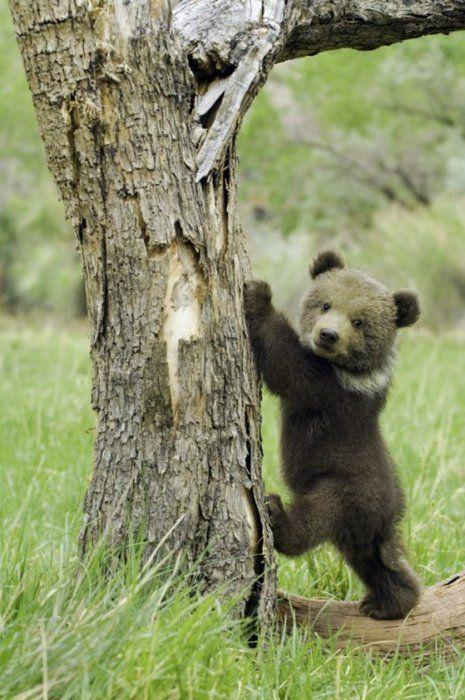 Oso pardo bebe intentando trepar un árbol