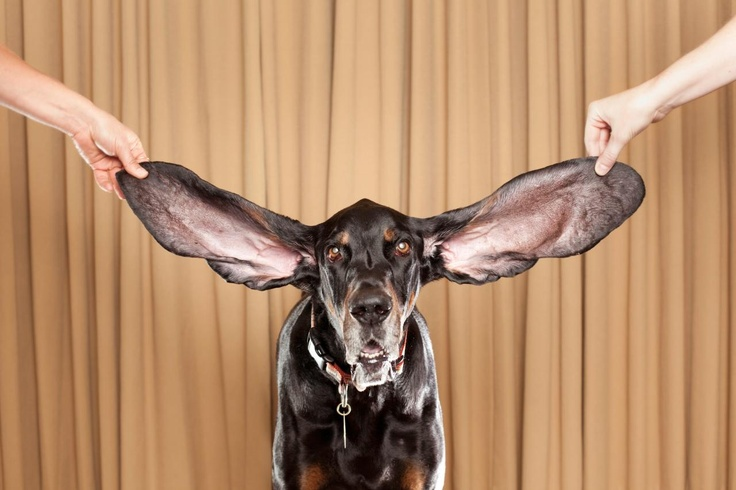 Coon hound - Guinness book of records for the longest ears.   This is what Corey wants as our next big dog. Maybe not with the record ears though but he is really cute!