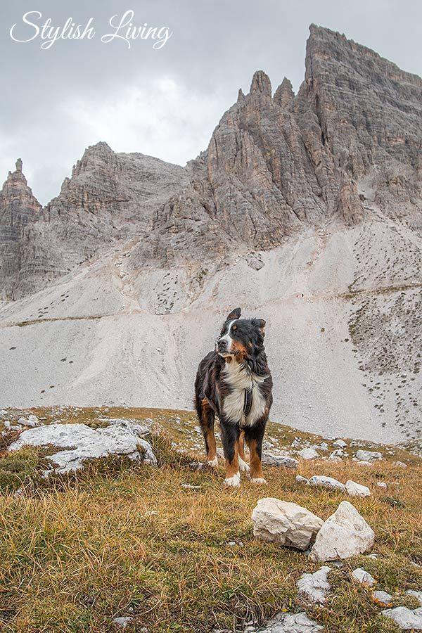Berner Sennenhund Drei Zinnen