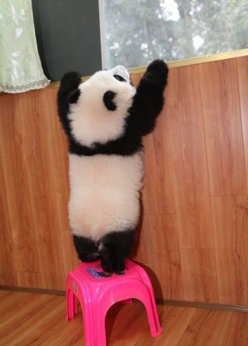 A little help? LOL. Aww! This is so cute. I am so in love with pandas. They are truly one of the cutest animals on Earth.