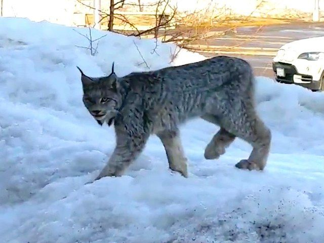 Canadian Woman Mistakes Wild Lynx for Cute Kitty YouTube user Beth-Ann Colebourne came out of her nail salon in Terrace Bay, Ontario, Canada when she had a close encounter with a wild lynx. Instead of running the other way, she decided to film the Canada lynx and call to it like a cute little kitty-cat. She must not have known that if a lynx feels as though it has no method of escape except through you, then well... Beth-Ann is lucky she didn't end up being attacked and we are all lucky for…