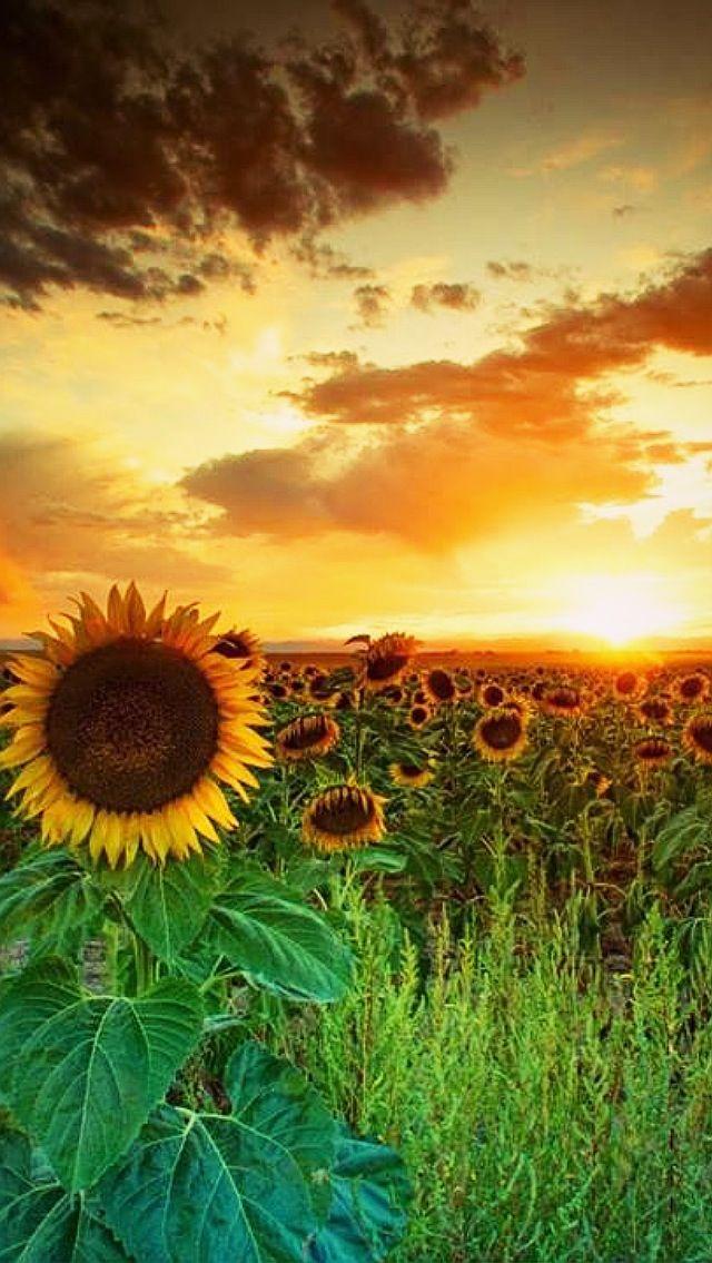 Sun flowers filed