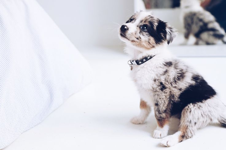 chiot border collie mâle bleu merle appartement