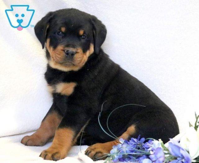 Sweetheart Rottweiler Puppies For Sale Rottweiler Rottweiler