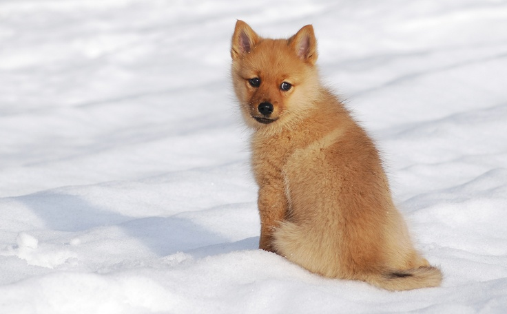 Finnish Spitz puppy in snow