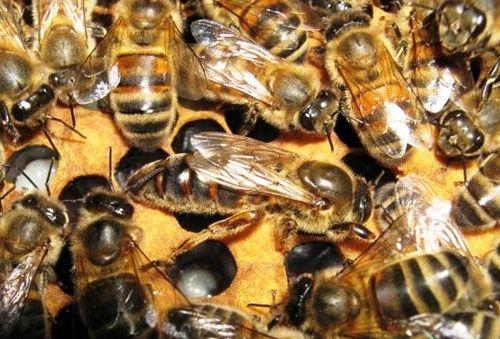 Buckfast bees - honey bee types