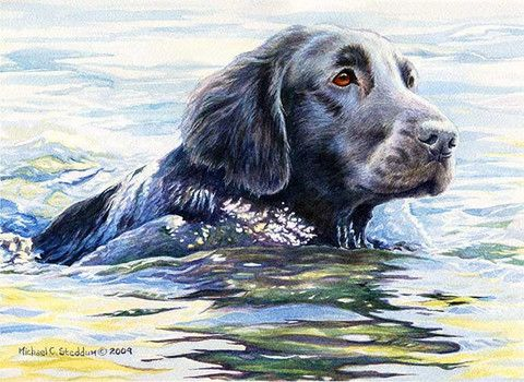 """Flat Coat Swim"" A Limited Edition Flat Coated Retriever Print - Michael Steddum"