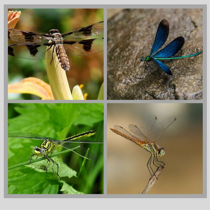 Diversity of Dragonflies abounds in colour, size, shape and patterns.
