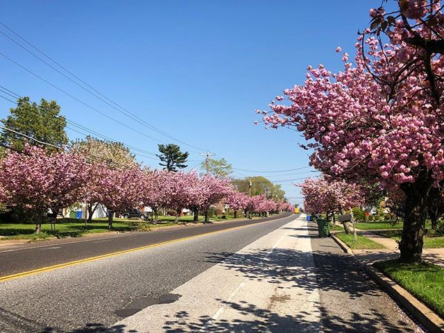 The Cherry Blossoms Of Chapel Avenue Cherryblossom Cherryblossoms Trees Spring Springtime Blossom Treesinblosso Cherry Blossom Blossom Chapel