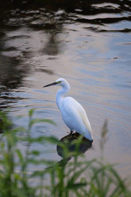 little egret コサギ on Flickr.