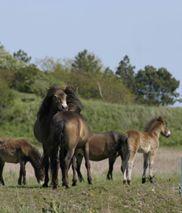 Langeland - Kom og vær til - - Seværdigheder - Vilde Heste