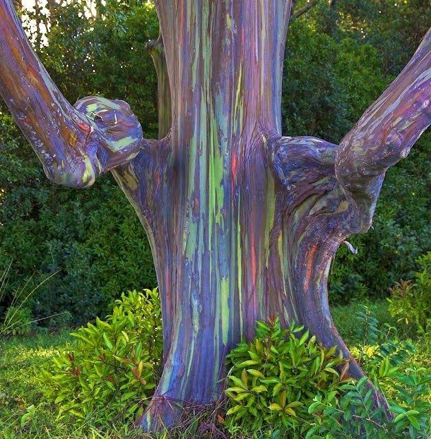 Las 25 mejores ideas sobre eucalipto deglupta en - Informacion sobre el eucalipto ...