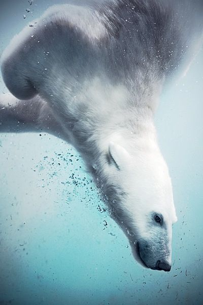 Polar bear diving into frozen water [Oso polar echándose un clavado en el agua helada].