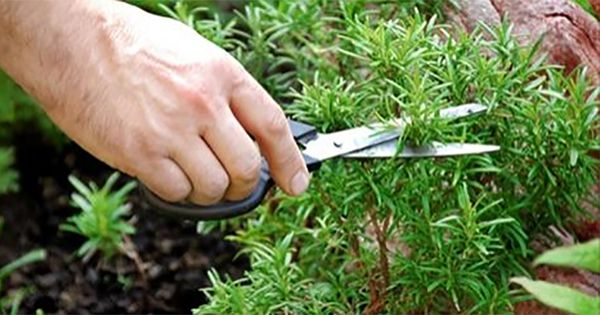 Розмарин —это растение, которое известно человечеству уже несколько тысячелетий. В Древнем Риме его считали символом влюбленных и использовали на свадебных церемониях. В Средневековье розмаринбыл си…