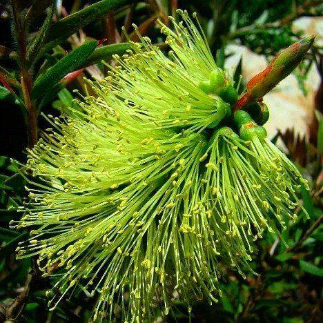 Callistemon pachyphyllus viridis - Lime Green Bottlebrush