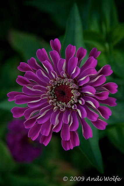 Zinnia ~ Asteraceae by andiwolfe
