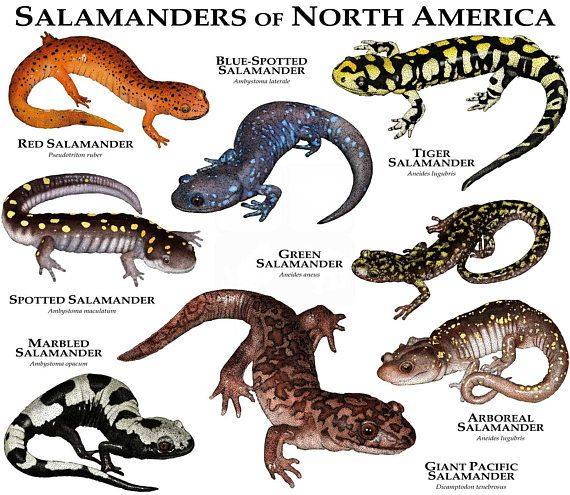 25 Best Illustrations Of Salamanders And Newts Images On