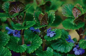 Le lierre terrestre : il ne grimpe pas, il soigne - Jardiner - Phytothérapie, aromathérapie, herboristerie