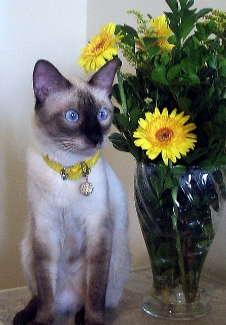 beautiful Siamese Cat/sunflower
