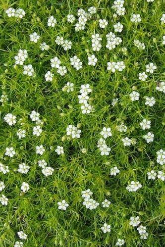 Cultivée pour son aspect de mousse ou de mini gazon, la sagine présente de courtes tiges, de minuscules feuilles vertes, progressant en s'enracinant de place en place pour former un dense tapis, couvert de menues fleurs blanches. Le Sagina apprécie un...