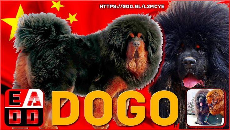 El Místico DOGO DEL TIBET (Do Khyi) Conocido también como Mastín tibetano.