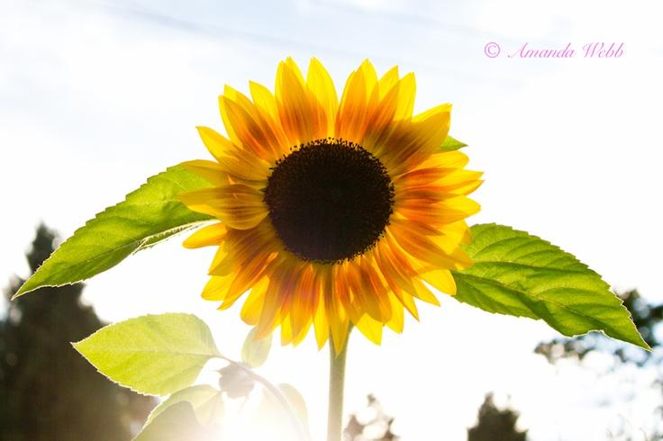 heavenly sunflower http://www.webbypics.com/2011/09/10/through-the-rays/