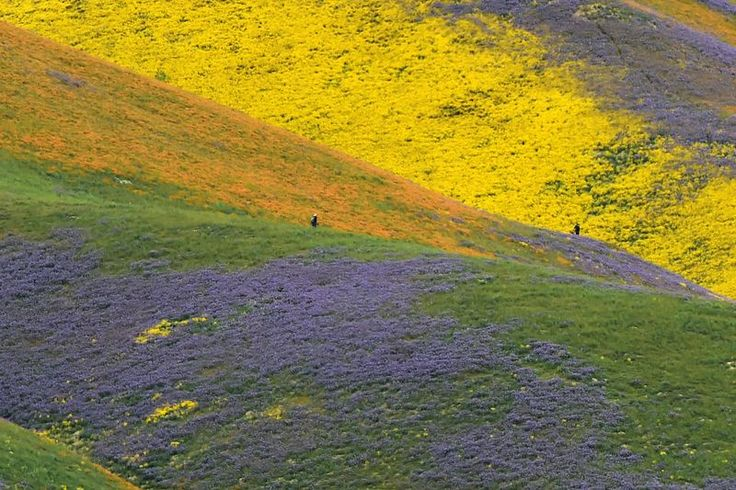 Orange, yellow and purple wildflowers paint the hills of the Tremblor Range, April 6, 2017 at Carrizo Plain National Monument near Taft,  California.In California, super blooms — when wildflowers bloom suddenly in the millions — happen roughly once a decade. Last year, wildflowers overtook Death Valley for the first time in 10 years, but reports indicate that the bloom will be pretty much nonexistent there this year.