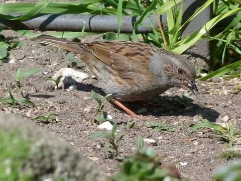 Dunnock: the hedge accentor | Nature Notes from Dorset