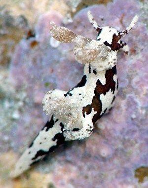 Cow Nudibranch (Trapania euryeia) Grows to less than 10mm long.  Image: Jun Imamoto, Japan.