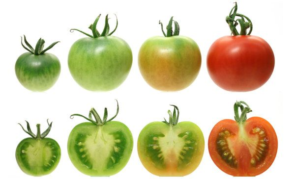 'Why the Modern Tomato Stinks' by Gina Kolata, nytimes: It seems that the very genetic mutation deliberately bred into tomatoes to promote even ripening and a uniform scarlet color also decreases its sugar and aroma! #Tomatoes #Horticulture #Gina_Kolata #nytimes
