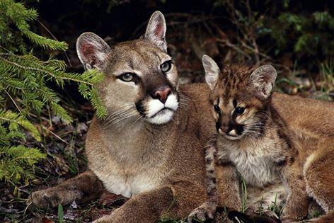 Puma, ya da dağ aslanı, boyunca bulunabilir batı kuzey Amerika, Güneydoğu ABD, Meksika ve orta ve Güney Amerika. Güzel ama son derece tehlikeli kedi