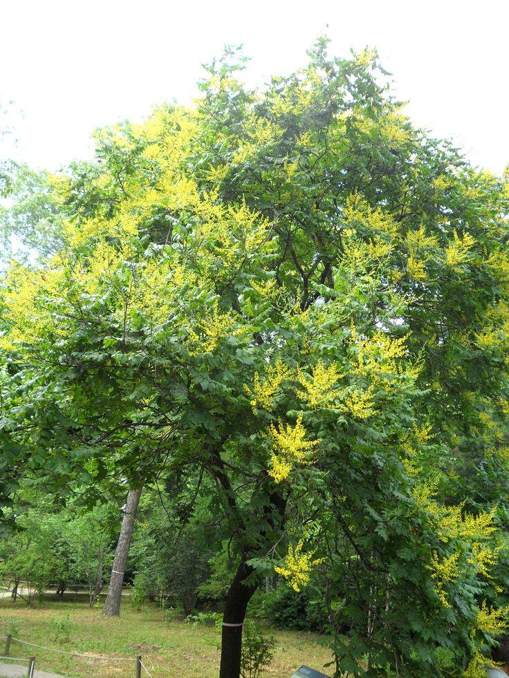 Nice Pos und Koelreuteria paniculata Blasenbaum