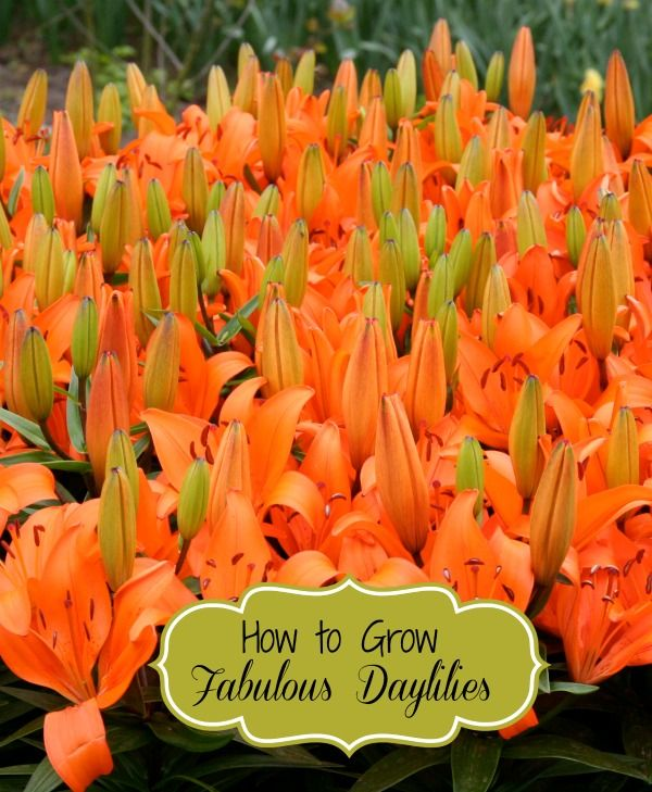 How to grow fabulous dayliliies - http://thegardeningcook.com/how-to-grow-the-best-daylilies/
