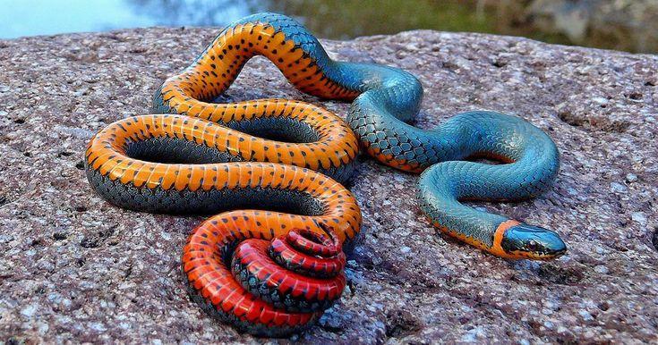 Regal Ringneck Snake Arizona Beautiful snakes, Pet style