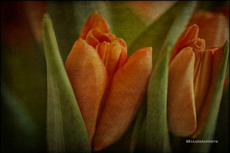 Tulips as Rembrandt.