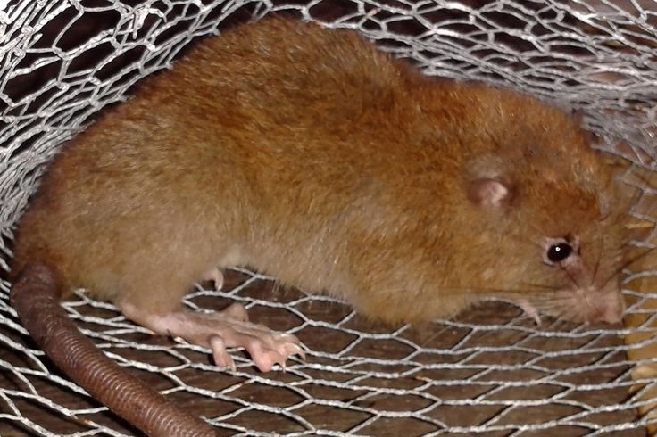 Newly confirmed giant rat species. The coconut-eating rodent tumbled from a logged tree on the Solomon Islands, a new study says.