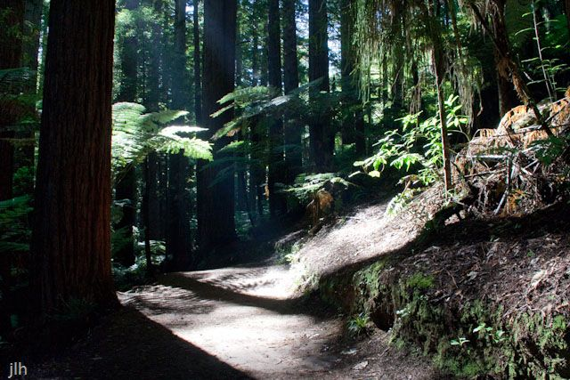 This photo we took at the Redwoods in #Rotorua New Zealand in late February. The height of the Redwoods hides just how big the ferns get.  As for the light it's crystal clear, just like the advertisements say New Zealand 100% Pure.