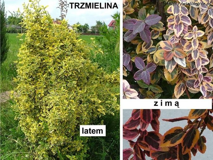 Trzmielina  EMERALD GOLD (Euonymus fortunei) - wieloletnie.pl