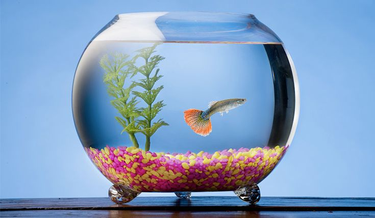 Keeping Guppies and other fishes in a glass fish bowl isn't as easy to care for as you may think. Here are some maintenance tips to make it work.
