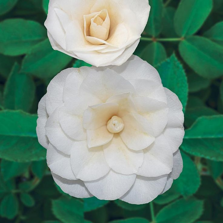 Sea Foam Camellia – Shrubs | Spring Hill Nurseries