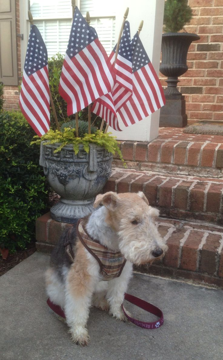 Happy Independence Day from Bailey, our wire fox terrier (in 2014).