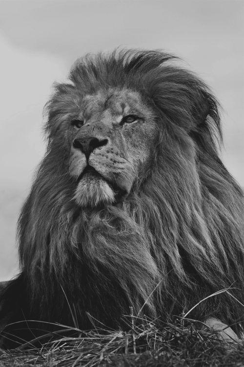 ByN león