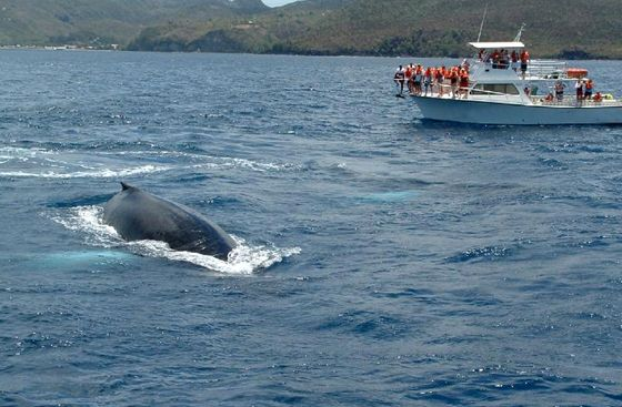 Get up close and personal with dolphin and whale watching in St. Lucia #CoconutBay #sea #dolphin